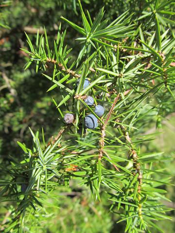 Juniperus_communis_00