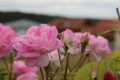 Rose ist nicht gleich Rose, genauso wie beim Rosenwasser.