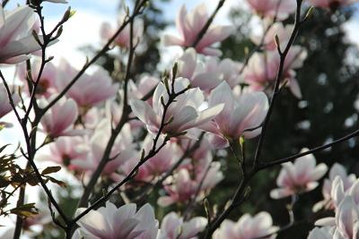 Magnolienblüten im Abendlicht