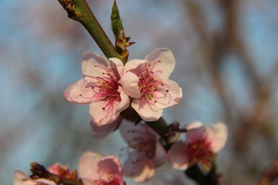 So zart wie ihre Blüten sind, so zart pflegt die Mandel die Haut.