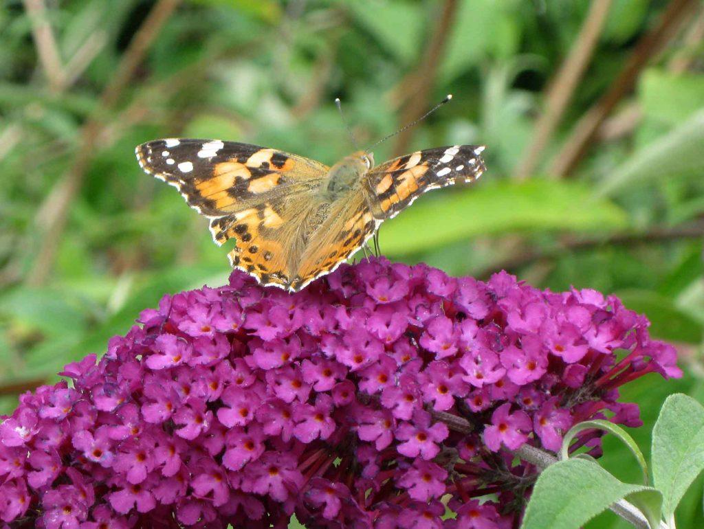 Goldeules Garten ist ein Paradies für Schmetterlinge...